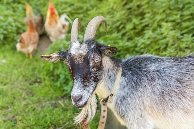 Koza i kurczak z wolnego wybiegu na ekologicznej farmie zwierząt swobodnie wypasanych na podwórku na tle ranczo. kurczaki kury domowe pasą się na pastwisku. nowoczesne zwierzęta gospodarskie, rolnictwo ekologiczne. prawa zwierząt.