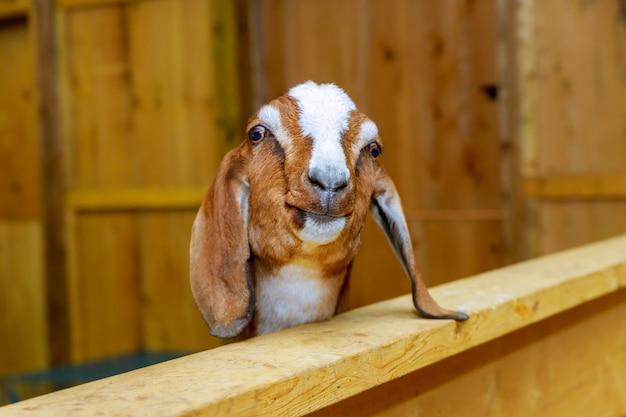 Koza i owce w stodole