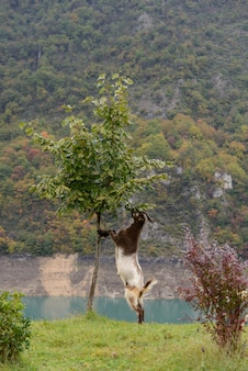 Koza jedzenia drzewa