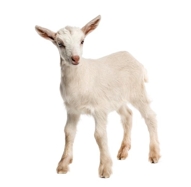 Koza koza (8 tygodni) na białym tle