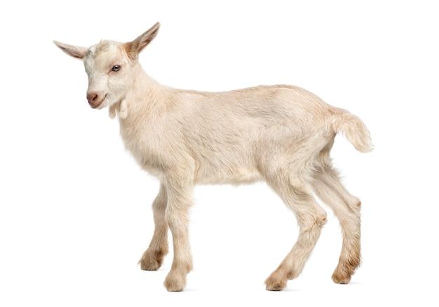 Koza koźlę (8 tygodni) na białym tle