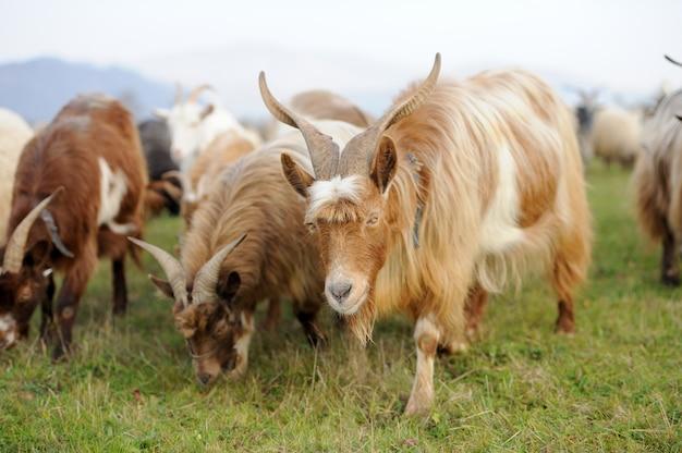 Koza na łące. stado kóz