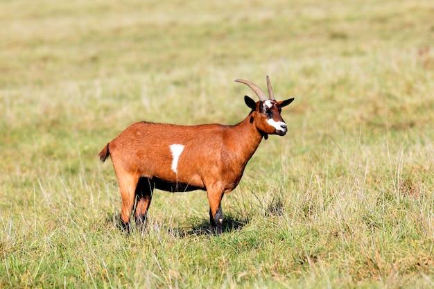 Koza na polu w porannym świetle