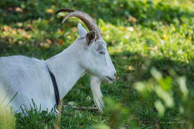 Koza na trawie na podwórku. biała koza z rogami