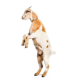 Koza na tylnych łapach przed białą powierzchnią
