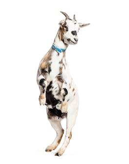 Koza Na Tylnych łapach Przed Białym Premium Zdjęcia
