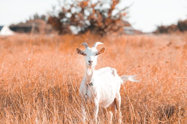 Koza pasie się we wsi. na trawniku pasie się związana koza. na łące pasła się koza.
