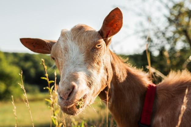 Koza patrząc na kamery z bliska