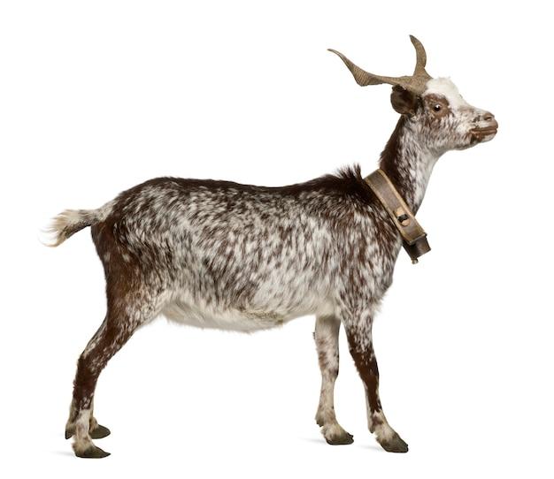 Koza rove, stojąca