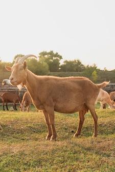 Koza stoi na farmie i odwraca wzrok