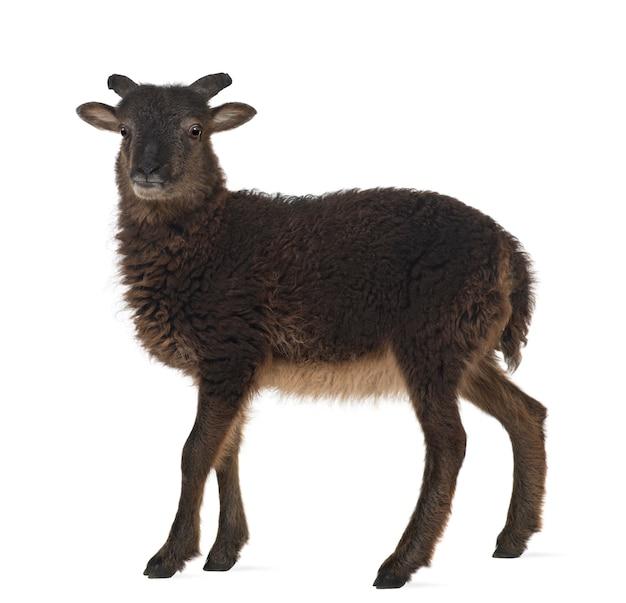 Koza stojąca na białej powierzchni