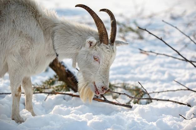 Koza stojąca na ziemi i patrząca na zimowy śnieg