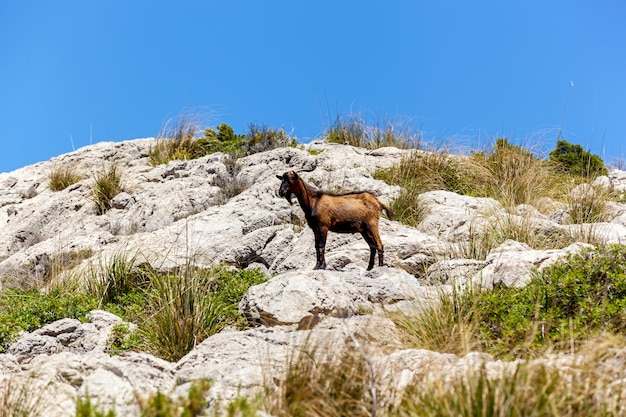 Koza stojąca nieruchomo na skalistym klifie w trawie
