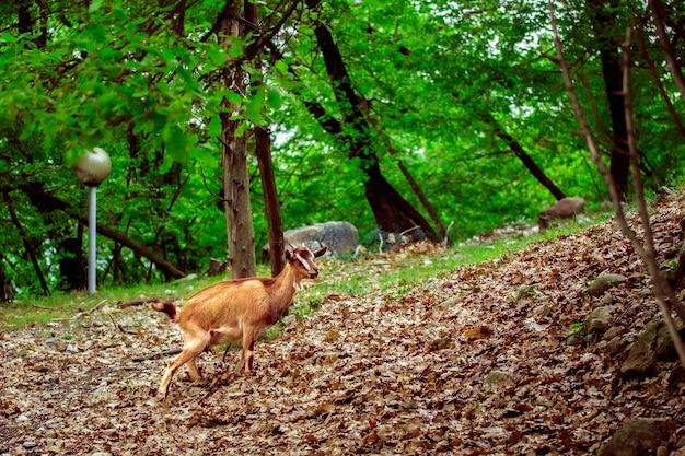 Koza szukająca pożywienia w lesie