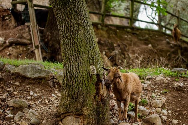Koza Szukająca Pożywienia W Lesie Premium Zdjęcia
