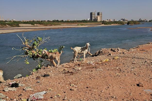 Koza w małej wiosce nad nilem w pobliżu chartumu w sudanie