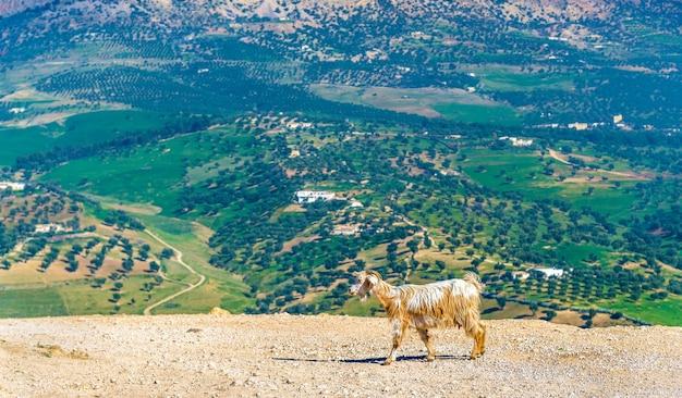Koza w pobliżu grobowców marinidów w fezie - maroko