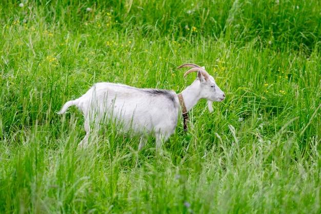 Koza w polu na padoku na trawie. zdjęcie wysokiej jakości
