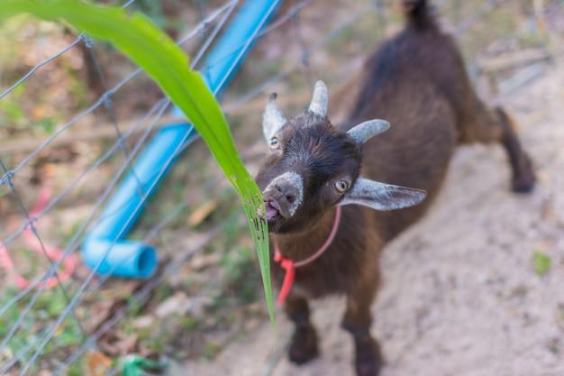 Koza W Zoo Premium Zdjęcia