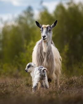Koza z cielakiem na wolności