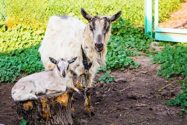 Koza z małą kozą w ogrodzie gospodarstwa. hodowla kóz ras mlecznych