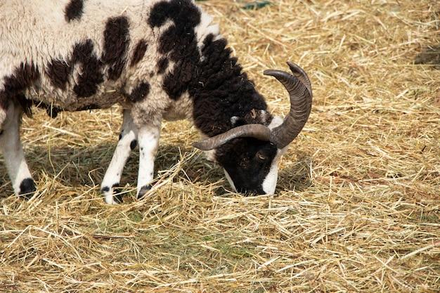 Koza z trzema rogami jedząca słomę na farmie mutacja genu u zwierzęcia