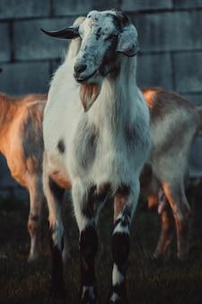 Koza za innymi przed ścianą