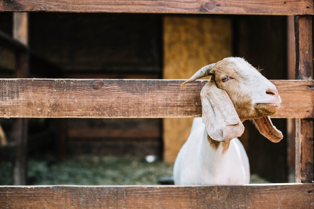 Koza zerka na głowę z drewnianego płotu