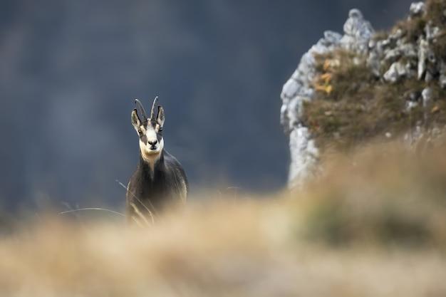 Kozica tatrzańska spoglądająca zza suchej trawy jesienią