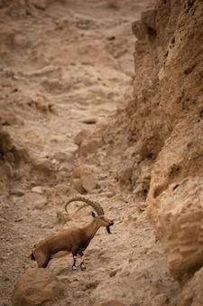 Kozioł górski na zboczach góry na izraelskiej pustyni.