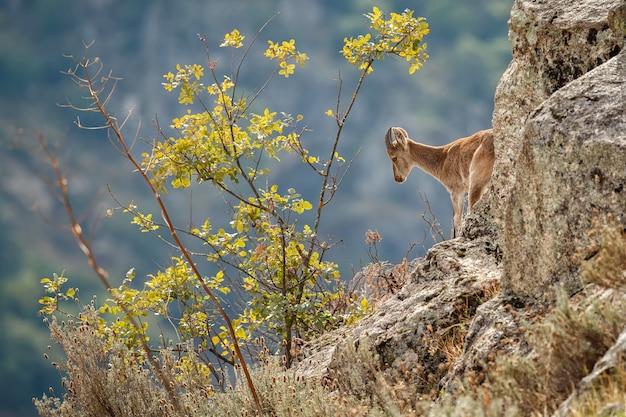 Koziorożec hiszpański młody samiec w naturalnym środowisku dzikie iberia hiszpańska dzika przyroda zwierzęta górskie