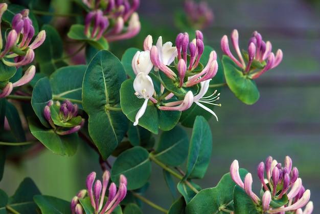 Kózkowata wiciokrzew lonicera caprifolium kwitnienia roślin zbliżenie