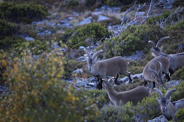 Kozy górskie pasące się na trawie