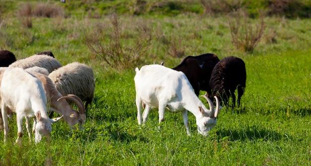 Kozy i owce jedzą trawę w słoneczny dzień.
