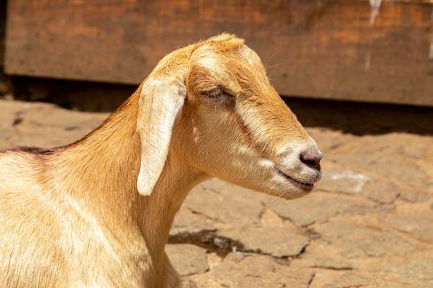 Kozy luzem na farmie, swobodnie wędrują po okolicy