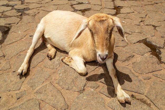 Kozy luzem na farmie, swobodnie wędrują po okolicy.
