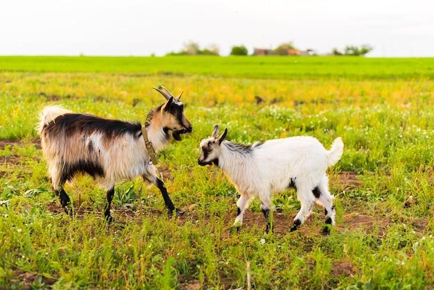 Kozy na farmie ekologicznej jedzą trawę