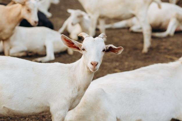 Kozy na farmie ekologicznej
