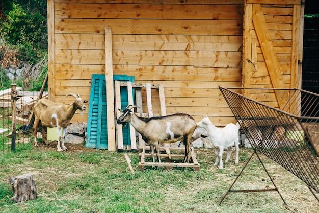 Kozy na farmie kóz drewniana szopa na podwórzu