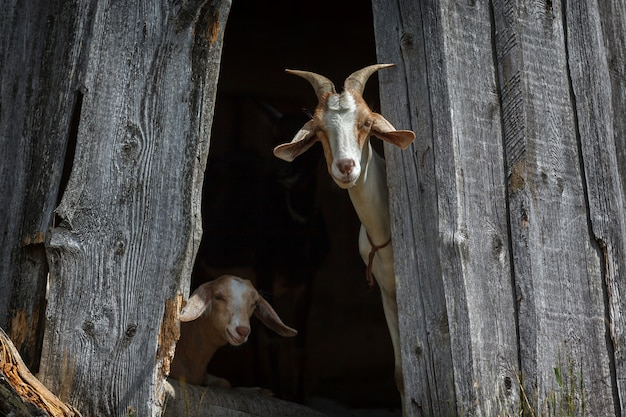 Kozy nubijskie chowają się w cieniu i interesują nas