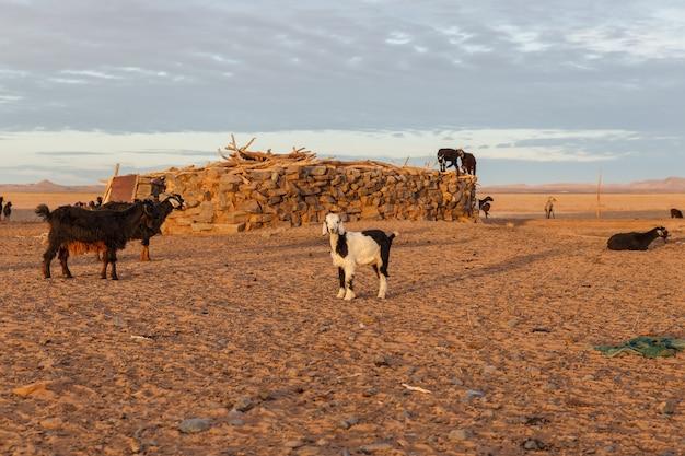 Kozy o wschodzie słońca w pobliżu domu berberyjskiego na saharze młoda koza patrzy w kamerę