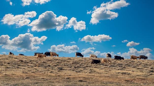 Kozy pasą się na szczycie wzgórza
