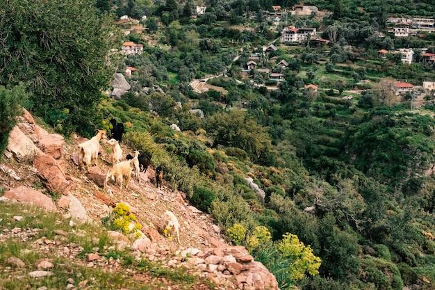 Kozy pasą się na zboczu na tle górskiej wioski faralya w turcji