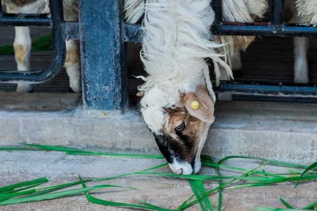Kozy pochylają się, aby jeść trawę, która spadła na ziemię.