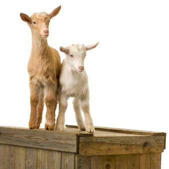 Kozy stały na białym tle na białym tle