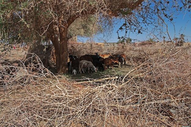 Kozy w małej wiosce nad nilem