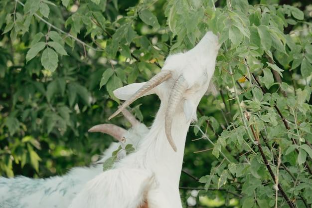 Kozy w przyrodzie. biały rogaty koza głowa na rozmytym naturalnym tle. białe kozy na łące na farmie kóz. koza. portret kozy na farmie we wsi