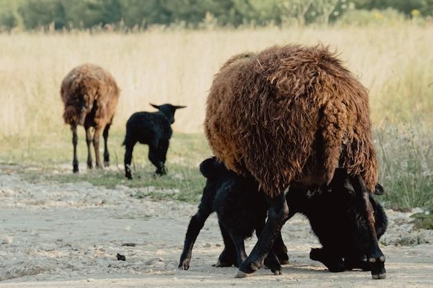 Kozy w przyrodzie. biały rogaty koza głowa na rozmytym naturalnym tle. kózki piją mleko matki.