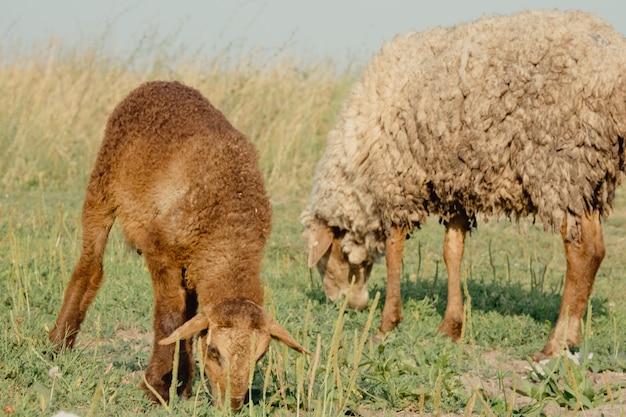 Kozy w przyrodzie. brązowy rogaty koza głowa na rozmytym naturalnym tle. kózki jedzą trawę na łące. pasie się stado kóz.