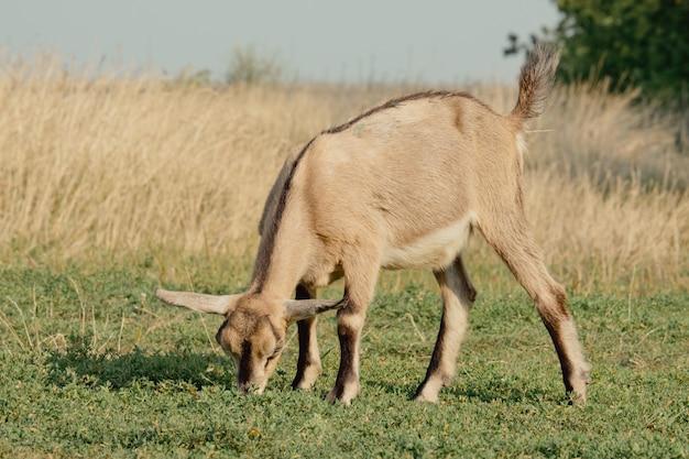 Kozy w przyrodzie. brązowy rogaty koza głowa na rozmytym naturalnym tle. stado kóz i stado owiec na polu riazań